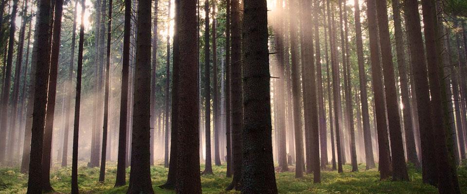 Skog för motorsåg